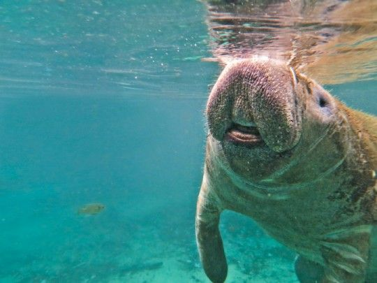 Swim with Manatees on the Crystal River in Florida. Can't wait for this in a week!!