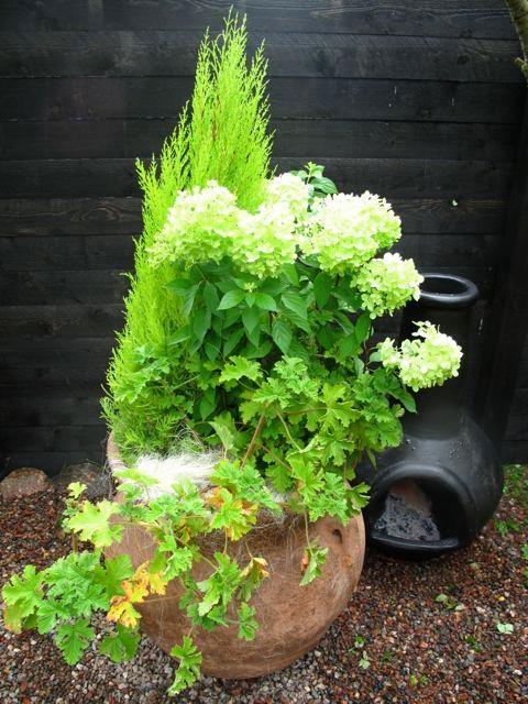 Kissankarkotukseen tyrmäävä ruukkuistutus! Sitruunasypressin, syyshortensian ja tuoksupelargonin raikkaan vihreä yhdistelmä isossa ruukussa.