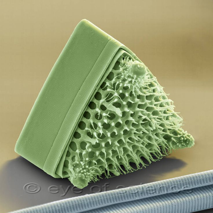 Naturally triangular Diatom : Diatoms are unicellular algae whose cells are enclosed by a silicate shell (silicon dioxide). They live in salt or fresh water and are the main primary producers of organic matter and produce a large part of atmospheric oxygen. Scanning electron microscope, magnification 980:1 (at 12x10cm)