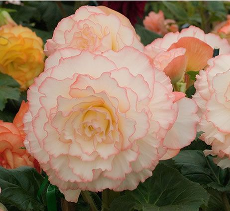Huge Australian Bred Begonia display