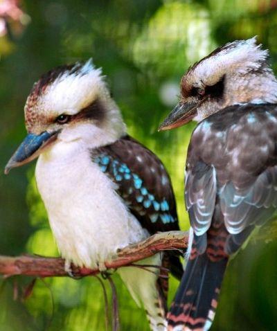 Kookaburras - Australian Capital Territory