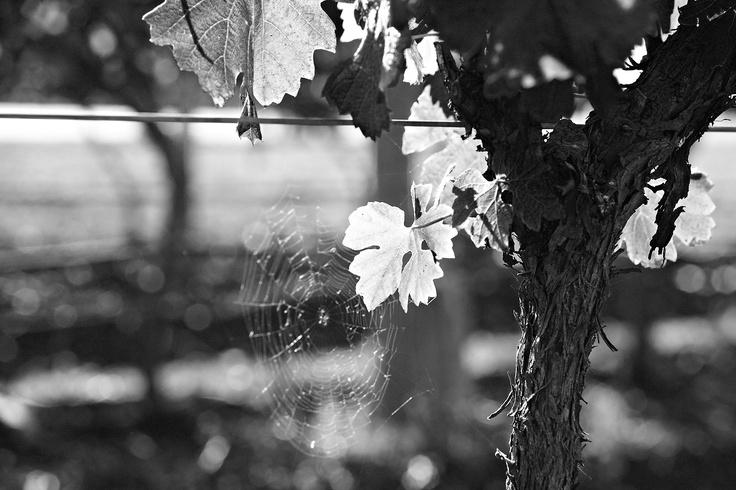 Scarborough Vineyards #wine #huntervalley