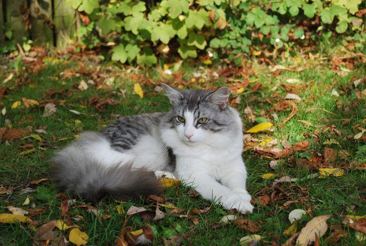 Opdræt af den smukke norske skovkat er en fantastisk hobby. Mine katte er mit hjems guld. Jeg har de skønneste skovkattekillinger til salg. Planer for parring.