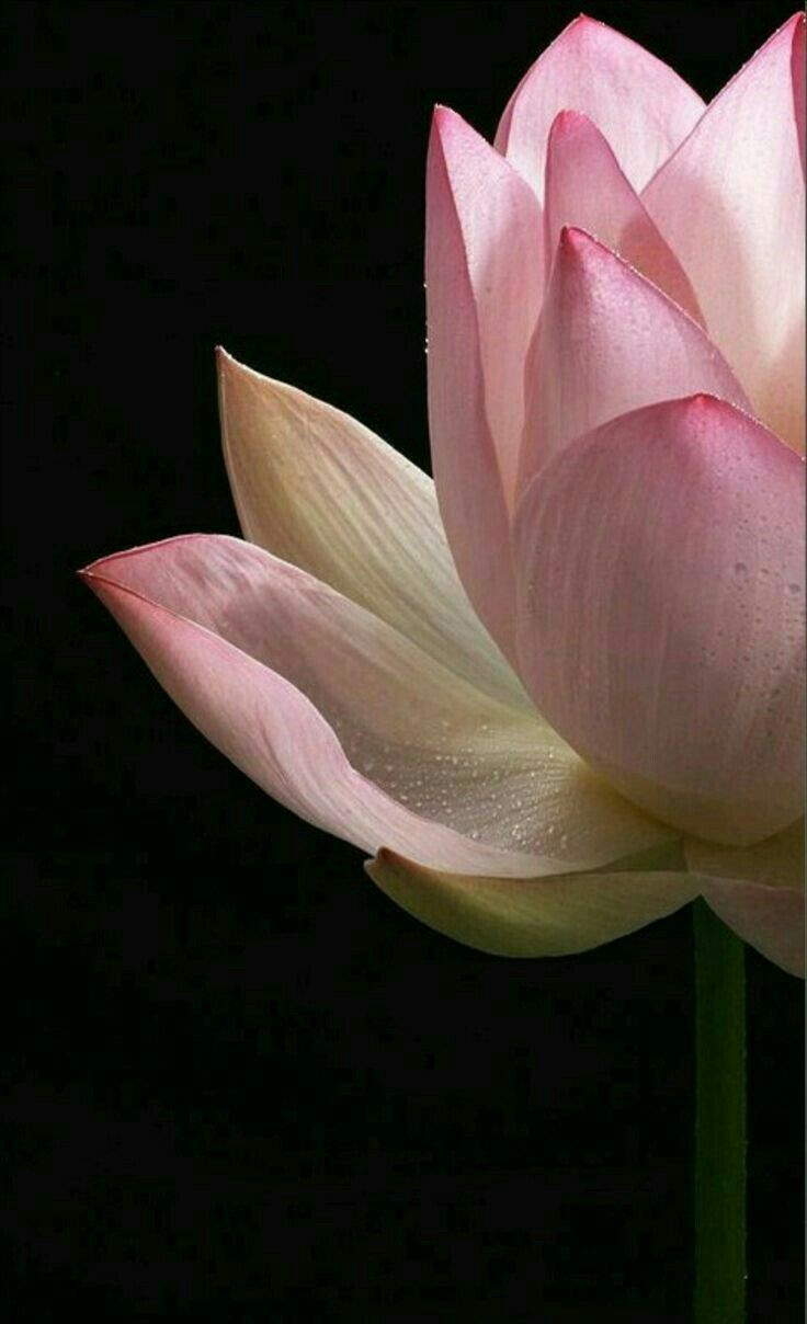 Pin By Mona Moni On Lotus Pinterest Flowers Beautiful Flowers