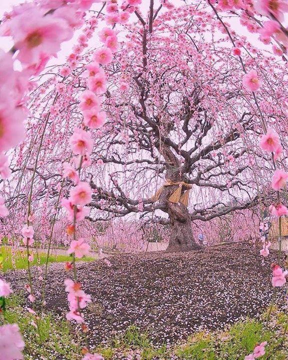 شجرة برقوق عمرها 200 عام الصورة من حديقة غابات سوزوكا في اليابان حلول جمال الطبيعة Architecture Design Flowering Trees Plum Tree Forest Garden