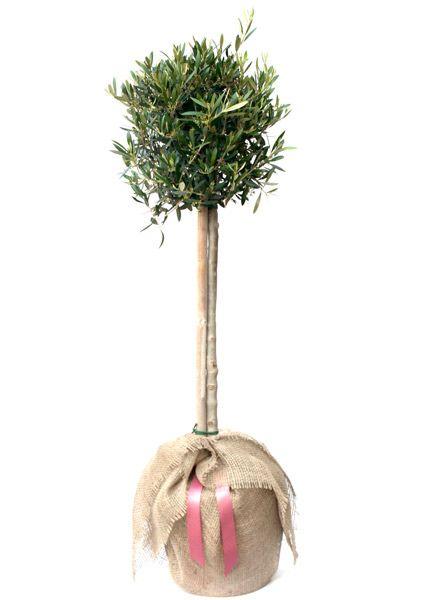 Buy olive tree - (mini 1/2 standard) Olea europaea: Delivery by Waitrose Garden in association with Crocus