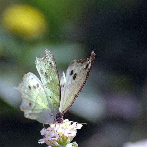 Butterfly by akapumbaFly Creatures, Butterflies Dragonflies, Beautiful Butterflies, Butterflies Flutterby, Butterflies Fly, Bugs Bees, Flutterby Collection, Butterflies Memories, Gilded Butterflies
