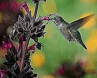 1000 ideas about hummingbird garden on pinterest - Butterfly and hummingbird garden designs ...