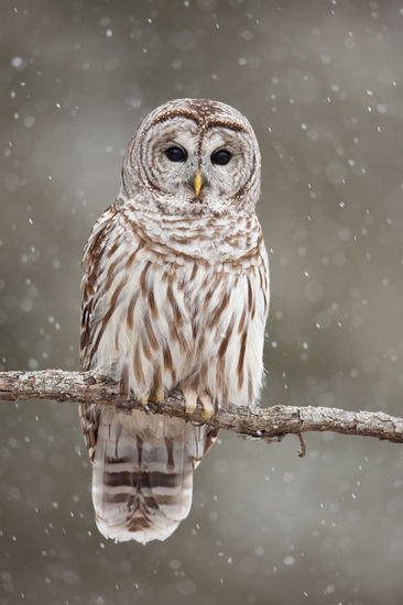 Solemn gaze of a barred owl. The shape of its face directs sound waves to its ears, enabling it to hear it prey's movement while hunting. Pure genius.