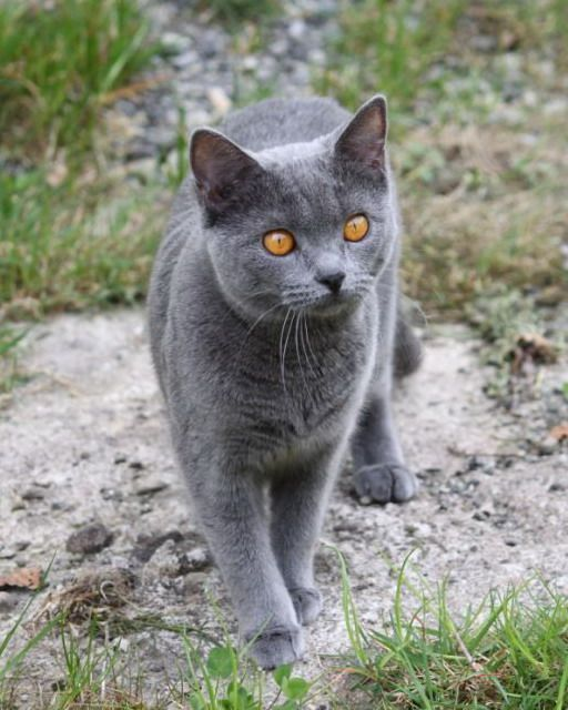 Chartreux cat. look at those eyes! omg!