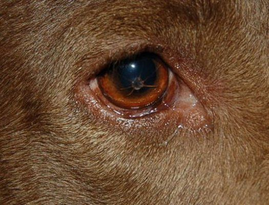 Dog Eye Infection Green Discharge Home Remedy