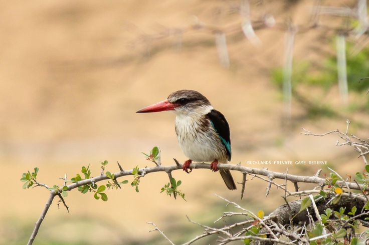 One of the many bird species found at Bucklands.  #photography #birding #kingfisher #brownhoodedkingfisher #gamedrives #bucklandsprivategamereserve