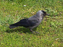 Western Jackdaw (Kaie)(Corvus monedula)