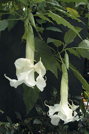 Double Angel's Trumpet (Brugmansia species)