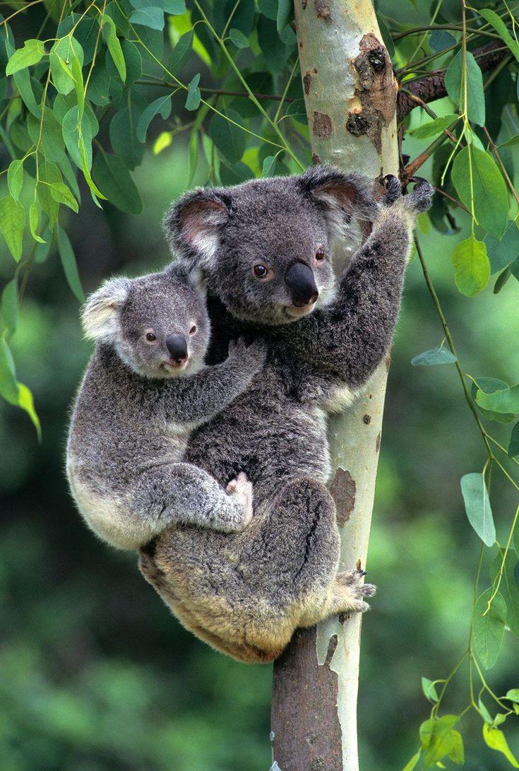 юбилей коала на бамбуке картинки хозяйки варят