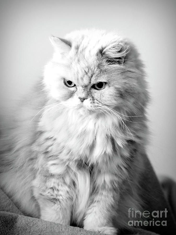 Fluffy Persian Cat Persian Cat Persian Cat White Cat With Blue