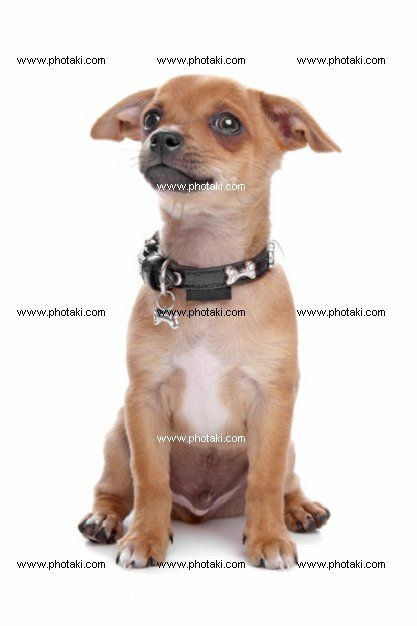 http://www.photaki.com/picture-short-haired-chihuahua-puppy_1303785.htm
