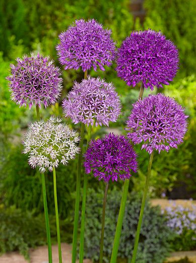 Allium MIxed, image courtesy of i-bulb
