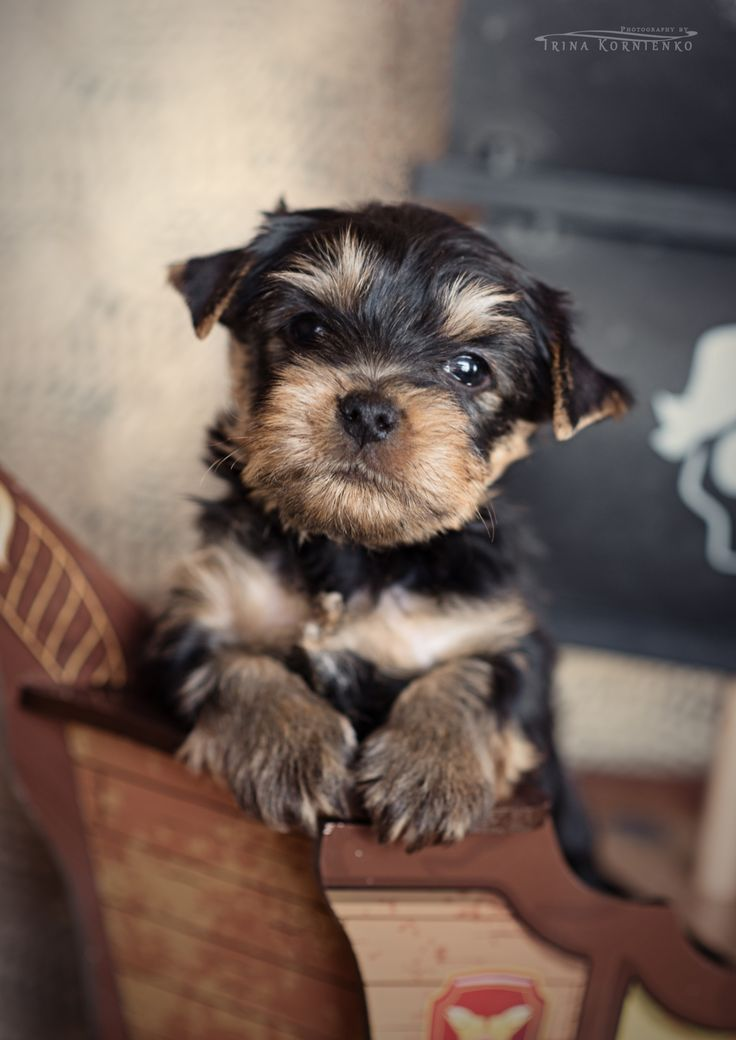 Oliver by Irina Kornienko on 500px The most adorable little purebred Yorkshire terrier puppy , 5.5 week old