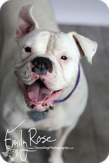 Pictures of Iggy Azalea a English Bulldog/Boxer Mix for adoption in Dallas, TX who needs a loving home.