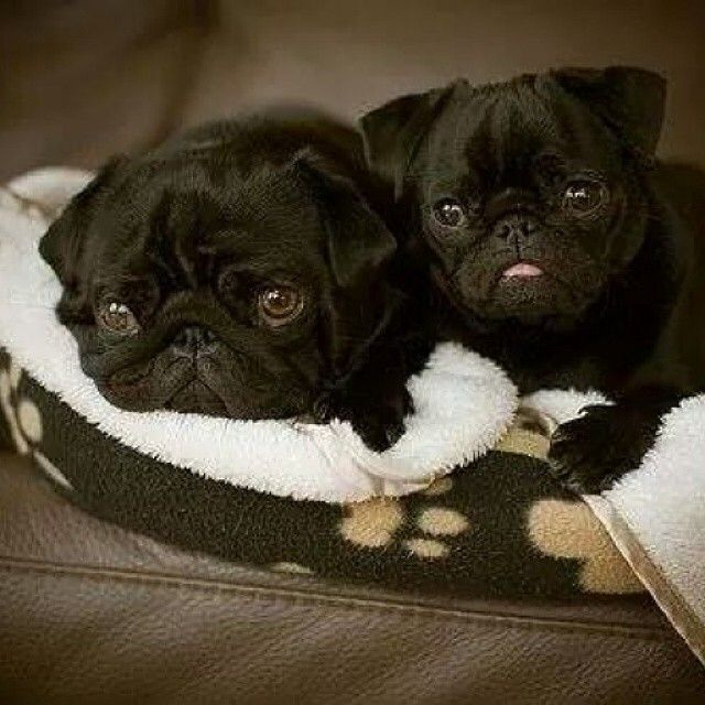 1879 best its a pugs life images on pinterest doggies pug dogs jewelry for dog loversetsyshoptinybling thecheapjerseys Gallery