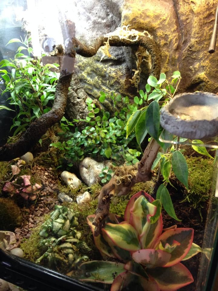 Exo Terra Dripper Plant Drip Watering System: Django The Crested Gecko, Live Planted Tank