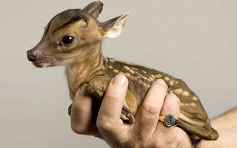 oh! deer!: Cutest Baby, Fun Recipes, Baby Deer, Animal Baby, Tiny Animal, Tiny Deer, Baby Animal, Baby Cat, Adorable Animal