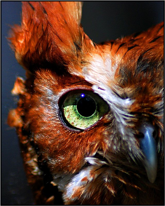 "Owl Eye by Melissa Papaj, via 500px; ""A macro of a red morph screech owl eye""~captive owl"