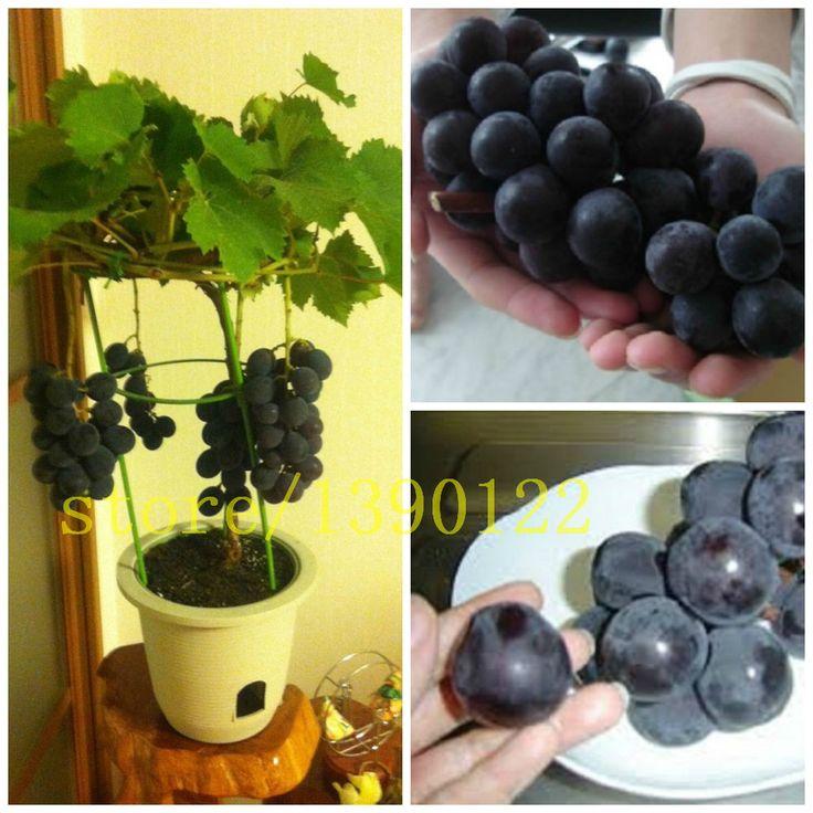 Simple trauben seeds bonsai obst schwarze traube samen Zwerg trauben baum einfach wachsen Japanischen Zwerg obst f r zuhause garten pflanzen