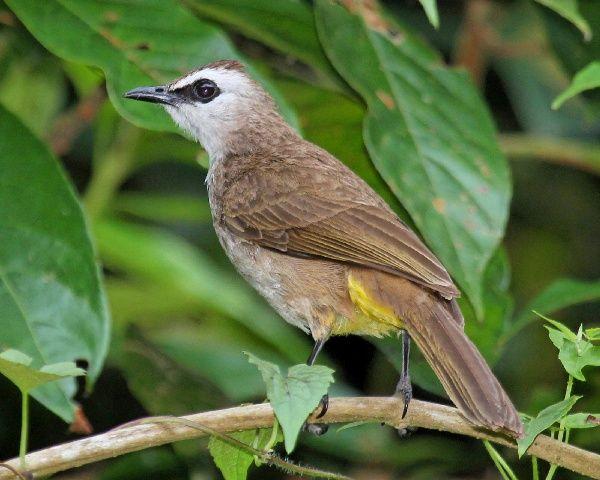 Gambar Burung Trucukan