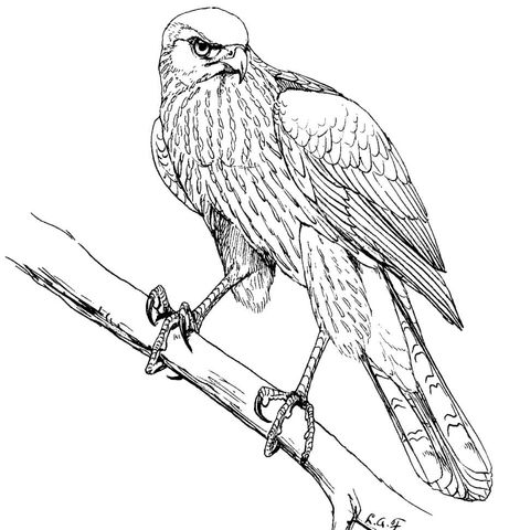 cooper s hawk coloring page in 2020 bird coloring pages