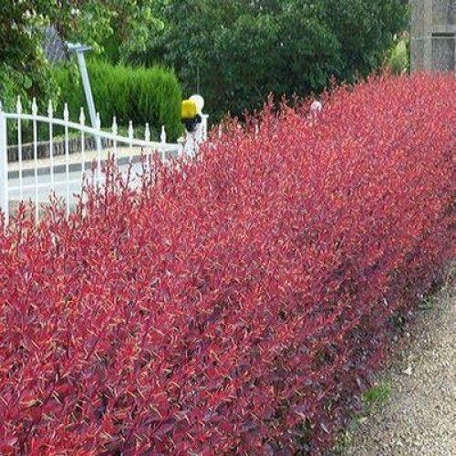 высота куста в среднем составляет 2 м. Листья и цветки в основном имеют красный оттенок.