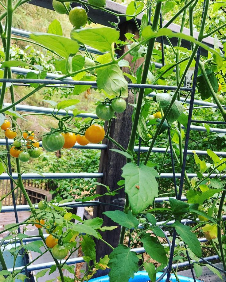 The heat ripened my sungold tomatoes!