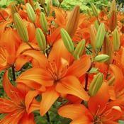 Lys - soleil/mi ombre - Vivace revient d'année en année - plantation de mars à mai - floraison de mai à sept - mettre a côté des plantes anti insectes - Pour prévenir les attaques de criocères, cultivez des plantes à feuillage odorant à proximité de vos lys (armoise, tanaisie, tagète…Fertiliser tous les 15 jours à compter de mai