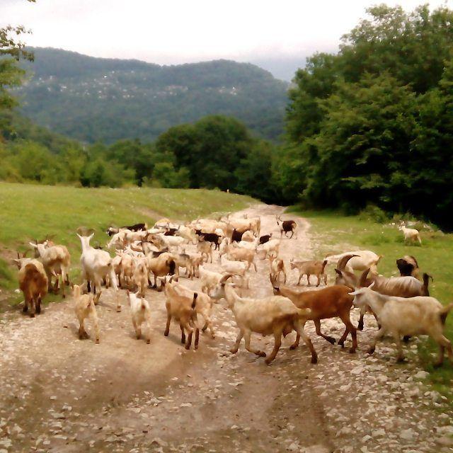 Экоотдых. Сегодня ходили по кантонам Псахо. Великолепная природа и милые животные. Позитифф.  #козлы #козы #козлята #козлят #дорога #грунтоваядорога #way #waybackwednesday #san #sammer #лето #дети #козьидети #детки {{AutoHashTags}}