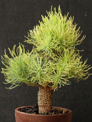 Euphorbia filiflora - Google Search