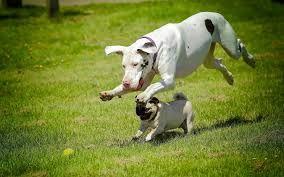 Kết quả hình ảnh cho pug dog