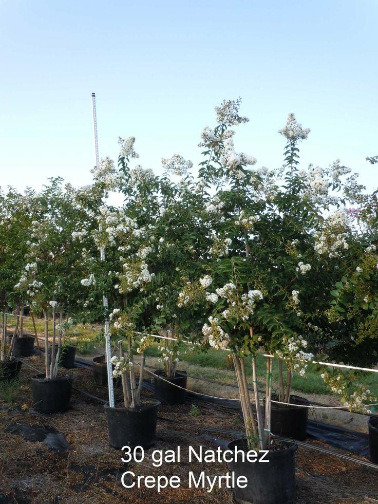 Ornamental Landscape Trees Texas Tree Nursery Farm