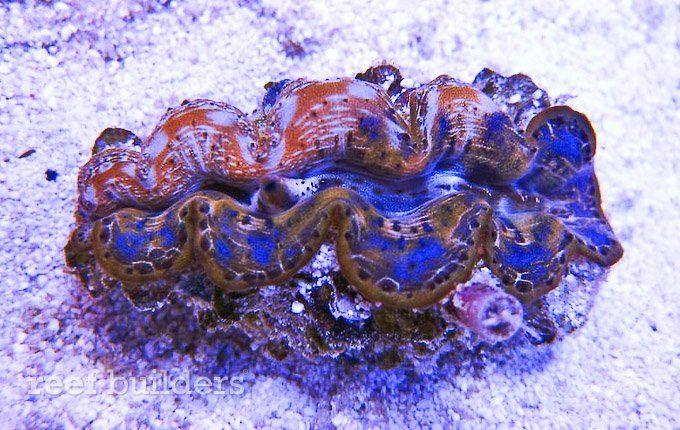 Bicolor Maxima Clam