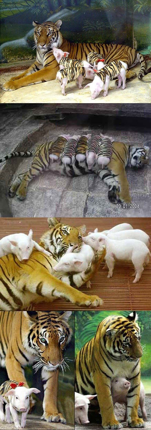 At Sriracha Tiger Zoo in Thailand, a mother tiger lost her cubs due to premature labour, then became depressed. Her health declined and she was diagnosed with depression.   Zoologists wrapped piglets up in tiger-print cloth, and presented them to the mother tiger, who took them in as her own. Her health is back on track.