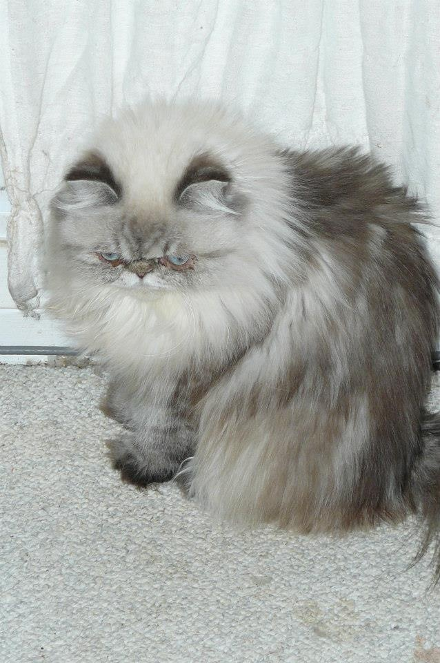 Seal Lynx Point Himalayan this looks just like my cat