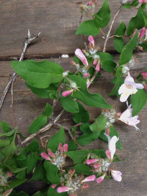 Kolkwitzia (Beauty Bush)