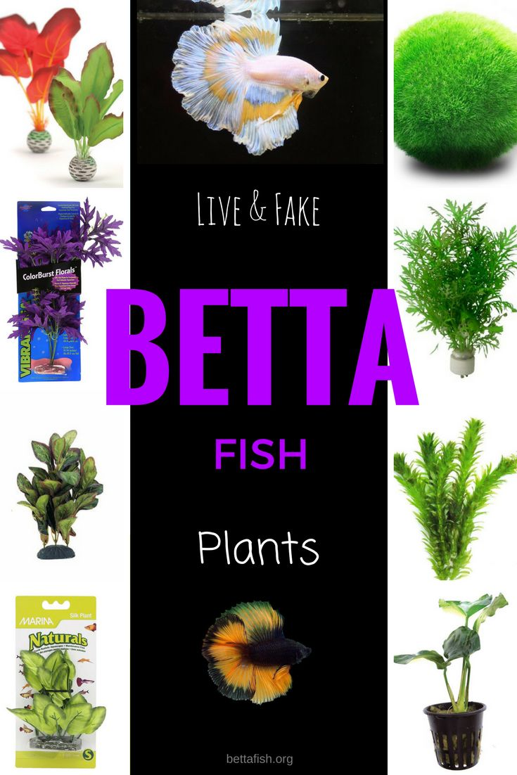 Fish aquarium information - Ready To Add Some Beautiful Plants For Your Betta Fish Today These