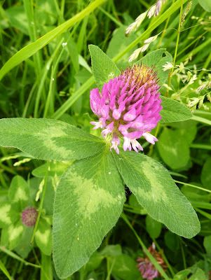 DE GULLE AARDE: rode klaver thee en andere recepten. Dutch red clover recipes.