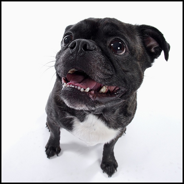 boston terrier pug mix 24 best boston terrier pug mix buggs images on pinterest 7591