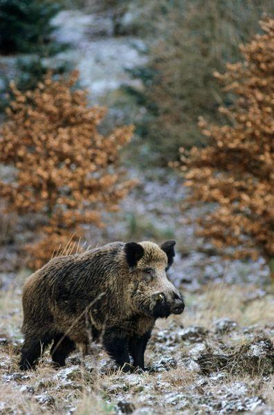 Wildschweinkeiler auf der Suche nach Bachen in der Rauschzeit - (Schwarzwild), Sus scrofa, Wild Boar tusker searching Wild sows in the breeding season - (Wild Hog - European Boar)