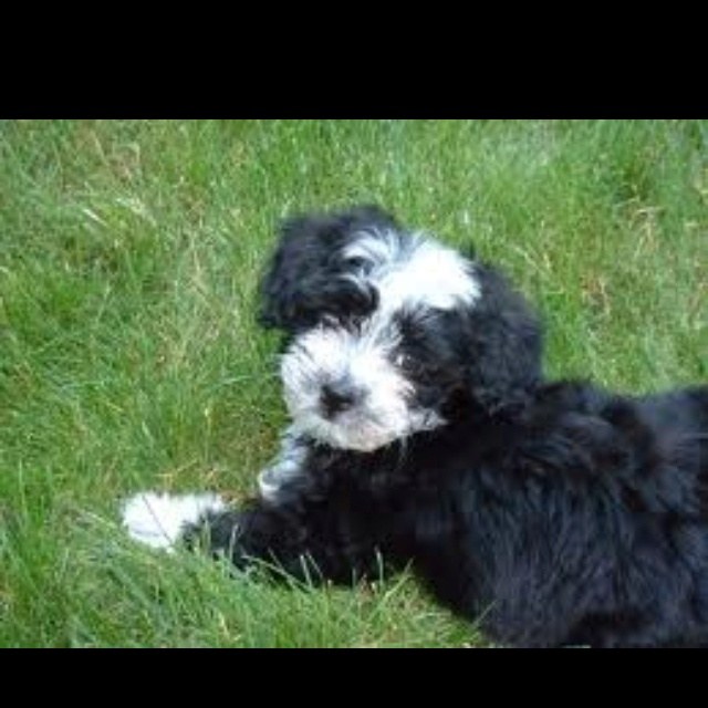 15 best coton crew wishes images on pinterest pets doggies and havanese my dog stormy but different coloring solutioingenieria Images