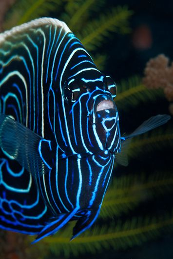 Juvenile Emperor Angelfish - that is one seriously cool fish!  @Sarina Martinez - can this kind of fish live in your tank?