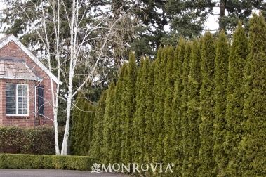 Monrovia's Emerald Green Arborvitae details and information. Learn more about Monrovia plants and best practices for best possible plant performance.