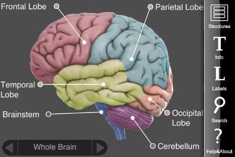 3d brain til IOS og Google. Informationer på engelsk om hjernen.